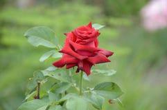 Red damask rose flower. In nature garden stock photo