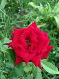 Red damask rose flower. In nature garden royalty free stock image