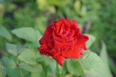 Red damask rose flower. In nature garden royalty free stock images