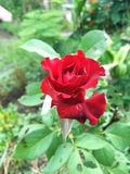 Red damask rose flower. In nature garden stock photography