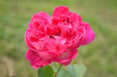 Red damask rose. Rosa damascena, Family Rosaceae, Central of Thailand stock photography