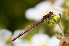 Red Damselfly Royalty Free Stock Photos