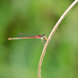 Red Damselfly Royalty Free Stock Images