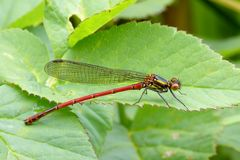 Red damselfly. The large red damselfly is one of the first damselflies to emerge in the year stock photography