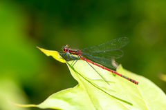 Red Damselfly Royalty Free Stock Image