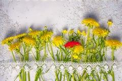 Red dandelion between yellow ordinary ones stock photos
