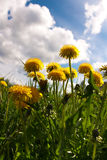 Red dandelions. And blue sky Stock Photos