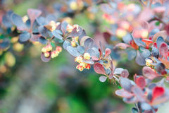 Red and dark blue leaves of bush barberry Royalty Free Stock Photos