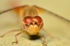 Red Darner Dragonfly Royalty Free Stock Photos