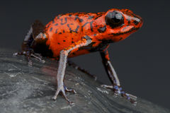 Red Dart frog Stock Image