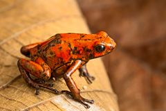 Red dart frog Oophaga histrionica. From the tropical rain forest of Colombia. A poisonous small jungle animal.  Toxic poison dartfrog with warning colors stock photography