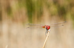 Red darter dragonfly perched on a twig. Closeup of a red darter dragonfly perched on a twig in grassland with its outspread wings on the lookout for its prey royalty free stock photography