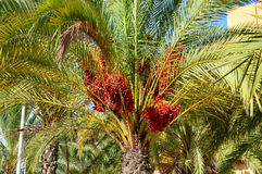 Date Tree, Palm - Unusual Red Dates Royalty Free Stock Image
