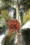 Red dates clusters of Palm tree Stock Photography