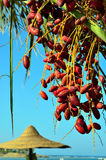 Red dates on a palm. Marsa alam egypt africa Royalty Free Stock Photo