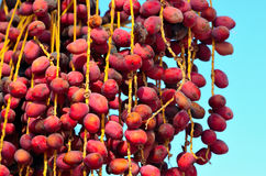 Red dates on a palm Stock Photography