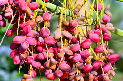 Red dates on a palm. Marsa alam egypt africa Royalty Free Stock Image