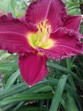 A Red Daylily. Red daylily with yellow center Stock Image