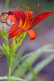 Red day lily Stock Photography