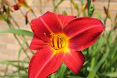 Red Day Lily Royalty Free Stock Image