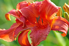 Red day lily Royalty Free Stock Images