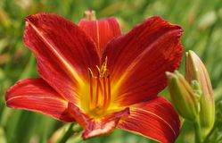 Red day lily flowers in botanical garden Stock Images