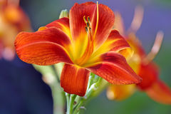 Red day lily Stock Image