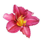 Red Daylily Stock Image