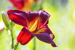 Red Daylily Royalty Free Stock Images