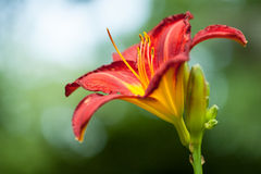 Red Daylily. Blooming in a summer garden Stock Photos