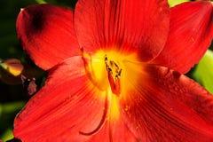 Red daylily Stock Photo