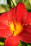 Red daylily Royalty Free Stock Photos