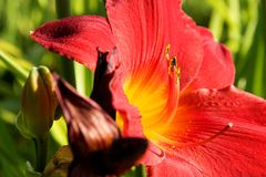 Red daylily Royalty Free Stock Photo