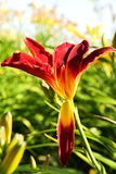 Red daylily Stock Photos