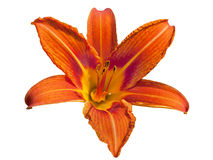 Red daylily flower Royalty Free Stock Photos