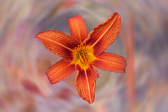Red daylily flower Royalty Free Stock Photo