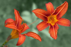 Red daylily flowers. Stylized as a postcard Royalty Free Stock Image