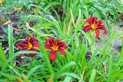 Red daylily Hemerocallis Stock Photo