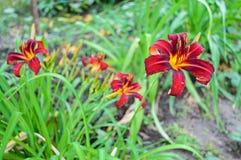Red daylily Hemerocallis Stock Image