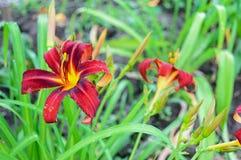 Red daylily Hemerocallis Stock Photography