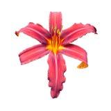 Red daylily (Hemerocallis). Isolated on a white background Stock Photo