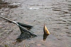 Red de aterrizaje con los pescados de la trucha de Brown Imagen de archivo libre de regalías