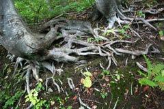 Red de las raíces del árbol en el bosque Foto de archivo