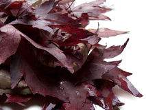 Red dead leaves of liquidambar / maple Royalty Free Stock Images