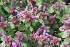 Red dead nettle (Lamium purpureum) Stock Photo