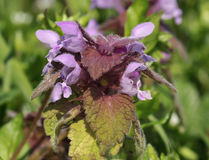 Red Dead-nettle Royalty Free Stock Photography