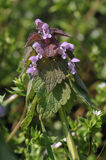 Red Dead-nettle Royalty Free Stock Images