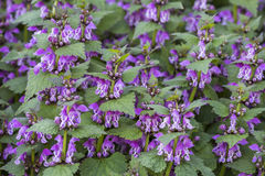 Red dead nettle plants Stock Images
