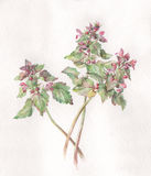 Red dead-nettle watercolor painting Stock Images