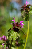 Red deadnettle Royalty Free Stock Images